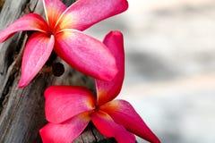 Fond de vue de fleur de Plumeria Photos stock