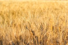 Fond de zone de blé photographie stock libre de droits