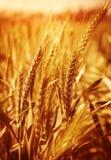 Fond de zone de blé Image libre de droits