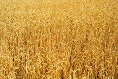 Fond de zone de blé Images stock