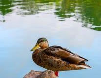 Fond debout de canard et d'eau photo libre de droits