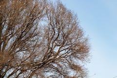 Fond des arbres pour une double exposition, beaucoup de branches, branches dans la neige, neige sur des branches, neige sur des a photographie stock libre de droits
