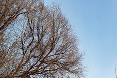 Fond des arbres pour une double exposition, arbres contre le ciel, branches sur un fond bleu homogène, beaucoup de branches, bran photo stock