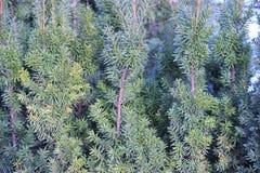 Fond des branches d'arbre de Noël Texture conifére d'usine Images libres de droits