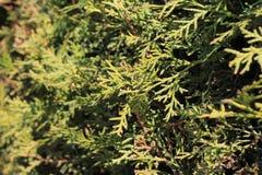 Fond des branches de vert de thuya Photos stock