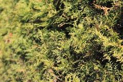 Fond des branches de vert de thuya Photo libre de droits