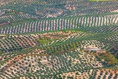 Fond des champs de plantation d'Olive Trees, vue aérienne Images stock