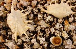 Fond des coquilles de mer Photographie stock