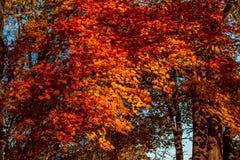 Fond des feuilles d'érable d'automne à la lumière du soleil photographie stock libre de droits