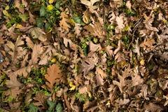 Fond des feuilles de chêne au sol Image stock
