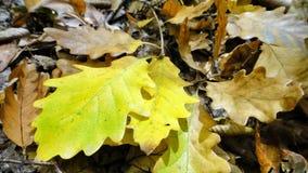 Fond des feuilles de chêne d'automne Photographie stock libre de droits