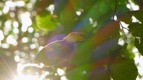 Fond des feuilles de noisette et des rayons du soleil banque de vidéos