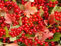 Fond des feuilles de rouge et des baies de viburnum Photos stock