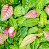 Fond des feuilles de vert et de la fleur fuchsia rouge et blanche, closeu Photographie stock
