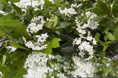 Fond des feuilles humides de lierre et des fleurs blanches sur le miroir image libre de droits