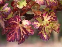 Fond des feuilles rouges d'un vignoble en automne Photos libres de droits