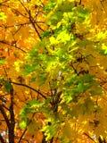 Fond des feuilles vertes et jaunes d'érable photographie stock libre de droits