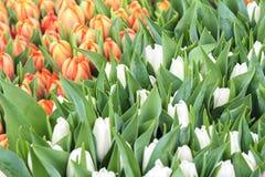 Fond des fleurs blanches et oranges de tulipe Photos stock