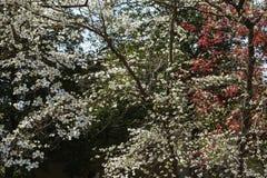 Fond des fleurs de cornouiller en premier ressort photo stock