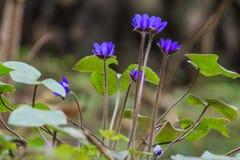 Fond des fleurs de liverleaf de ressort Photographie stock libre de droits
