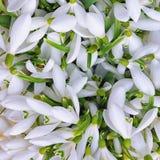 Fond des fleurs de perce-neige Photo libre de droits