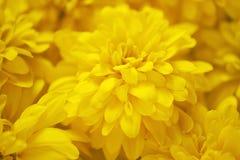 Fond des fleurs jaunes de jardin Photos libres de droits