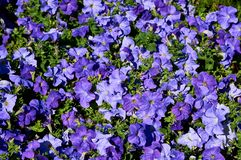 Fond des fleurs pourpres dans le midi photographie stock libre de droits