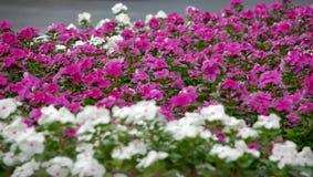 Fond des fleurs pourpres et blanches Photographie stock libre de droits