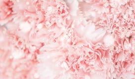 Fond des fleurs roses d'oeillets Photos stock
