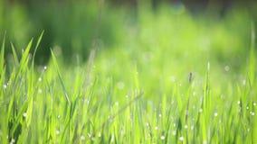Fond des gras verts avec la rosée banque de vidéos