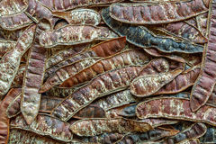 Fond des légumineuses de pseudoacacia de Robinia Acacia faux Sauterelle noire photographie stock libre de droits