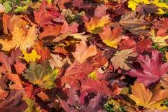 Fond des lames tombées d'érable d'automne Photographie stock libre de droits