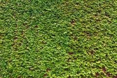 Fond des lames vertes abondantes de lierre Photos libres de droits
