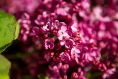 Fond des lilas Photographie stock libre de droits