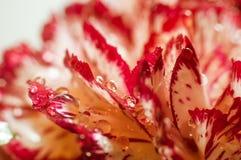 Fond des oeillets de fleur Photographie stock libre de droits