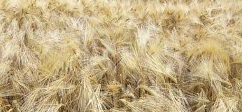 Fond des oreilles de blé dans le domaine image libre de droits
