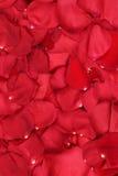 Fond des pétales des roses rouges sur le mariage, Valentine et Photo stock
