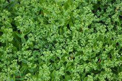 Fond des plantes vertes de petite taille-feuille avec les bourgeons verts Beau fond vert naturel photographie stock