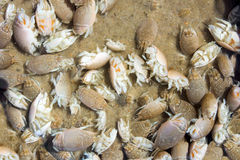 Fond des puces de sable.  Talpoida d'Emerita - Cr atlantique de taupe Photographie stock libre de droits