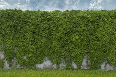 Fond des raisins sauvages photographie stock