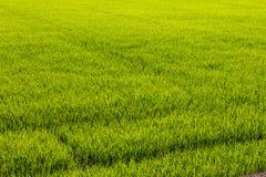 Fond des rizières vertes Images stock