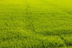 Fond des rizières vertes Photographie stock libre de droits