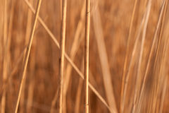 Fond des tiges du roseau Images stock