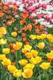 Fond des tulipes de couleur de variouse Photos libres de droits
