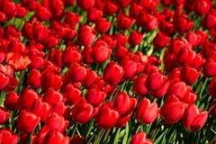Fond des tulipes rouges lumineuses dans le parterre photo libre de droits