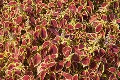 Fond des usines avec des feuilles de rouge et de jaune Photographie stock