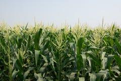 Fond doux de production de grains Photographie stock