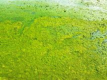 Fond du plancton vert épais sur Muddy Surface Photos libres de droits