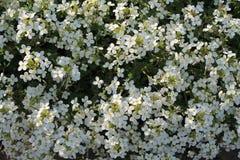 Fond du tapis de floraison de petites fleurs blanches Fin vers le haut Photo libre de droits