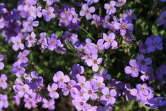 Fond du tapis de floraison de petites fleurs lilas Fin vers le haut Images libres de droits